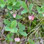 長野県で見かけた高山植物の一部(1)