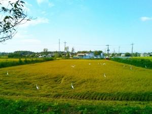 実りの秋の水田の白い鳥