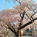 真鍋小学校とつくば霞ケ浦りんりんロードの桜
