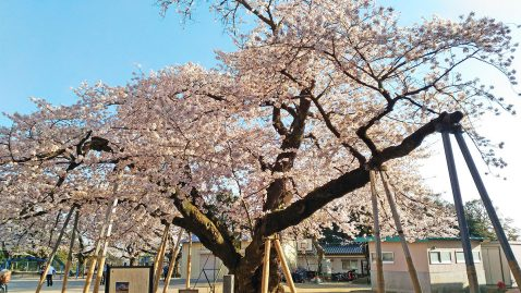 真鍋小学校の桜-横長
