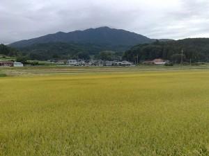 黄金色の絨毯の向こうに山