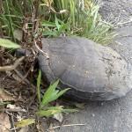 路上で亀と遭遇
