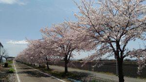 りんりんロードの桜の写真