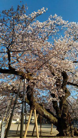 真鍋小学校の桜-縦長