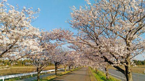 つくば霞ケ浦りんりんロードの桜